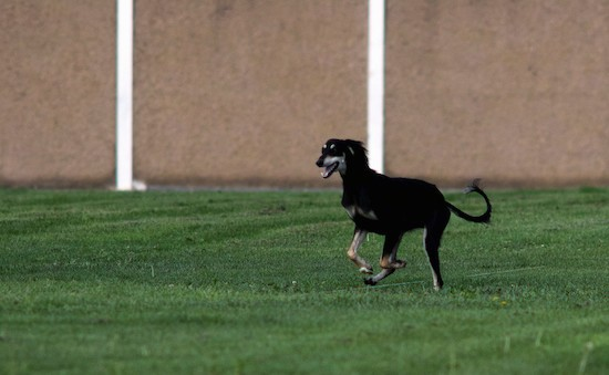 A black and tan Saluki dog running in grass with her mouth open with a tan wall behind her.