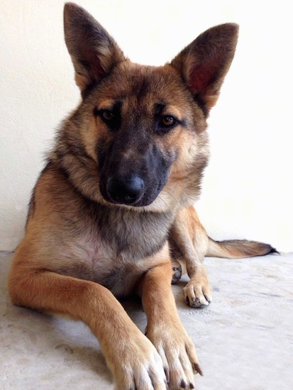 List Of Belgian Malinois Mix Breed Dogs