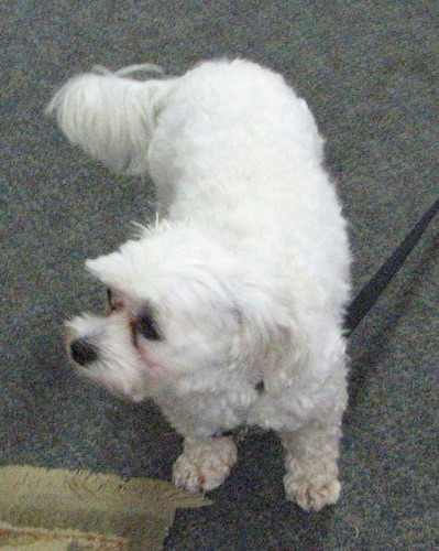 View from the top looking down at a small white dog with a long thick tail and small drop ears that hang down to the sides with a black nose and longer hair on its muzzle making it look square standing on a gray carpet.