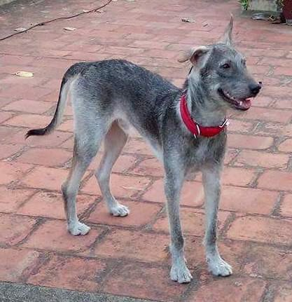 Front side view of a short haired, gray with black wiry looking dog with long legs, a black nose one ear that stands up and the other ear folds over with a long tail and a red collar standing on a red brick patio.