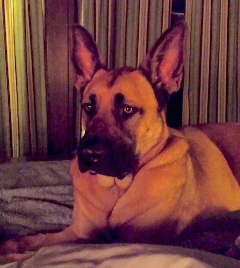 Front side view of an extra skinned, wide, tan dog with a wide square black muzzle and a big black nose with large perk ears and light brown eyes laying down on a person's bed.
