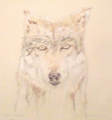 A painting and drawing of the front view head shot of a gray and tan wolf with almond shaped eyes, small perk ears and a dark nose looking forward.