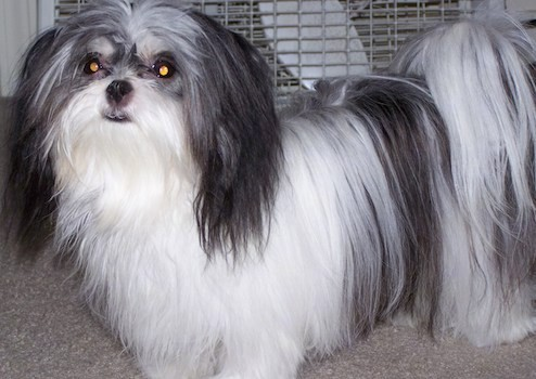 A small longhaired white and gray dog with a tail that curls up over its back that has long flowing hair on it standing on a tan carpet in front of a dog crate. The ears  hang down to the sides with long hair on them, the nose and lips are black and the eyes are wide and round.
