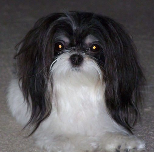 Front view of a longhaired gray and white dog with a black nose, wide round eyes and ears that hang down to the sides with very long hair on them laying down on a tan carpet.
