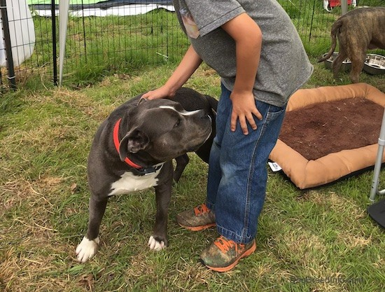 A little kid in a gray shirt and blue jeans standing in grass petting a gray with white short thick muscled dog. The dog looks happy. There is a dog bed and a second gray dog behind them.