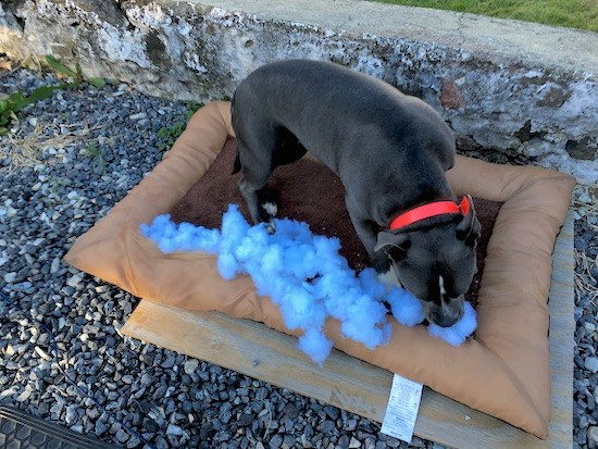 A gray dog with a white blaze down the front of her snout standing ona brown dog bed outside in a stone driveway. The bed is on top of a board and it has blue stuffing all over it.