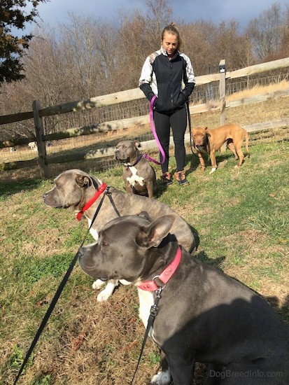 Four pit bull dogs on the side of a hill with a wooden split rail fence behind them. There is a girl dressed in black and gray holding the leashes of two of the dogs which are gray and white and red and white.