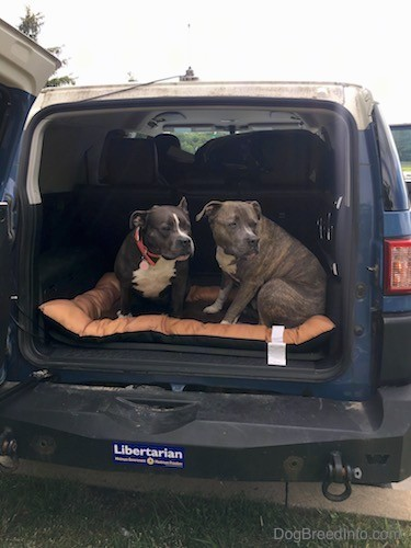 Two large breed gray pit bull dogs in the back of a blue toyota fj cruiser with the back door wide open. The dogs are looking to the right.