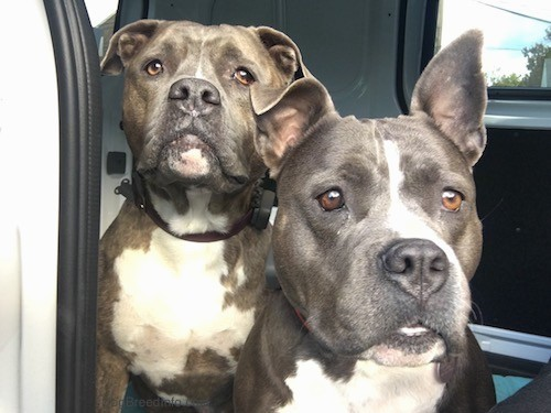 Front view of two alert looking pit bull dogs looking forward inside of an open car door.