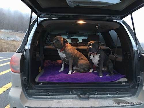 Two large breed dogs in the back of a gray toyota sequoia car with the back hatch open. The dogs are looking to the right and sitting on a purple towel.