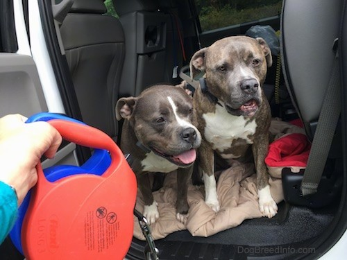 Two blue nose pit bull dogs inside of a Ford F350 truck on top of a blanket with the door open and a person holding two retractable leashes in front of them.