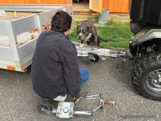 A man in a black shirt and blue jeans working on an aluminum trailer that is attached to a Honda side by side. There is a gray and white dog with her front paws up on the hitch looking at the man.