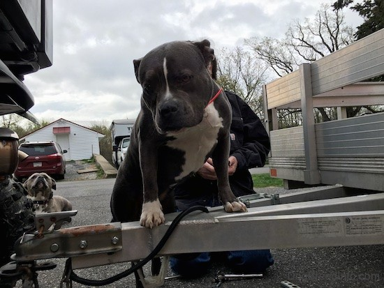 A wide, thick, well muscled bully looking dog with her front paws up on an aluminum trailer that is attached to a Honda side by side. There is a man working behind her.