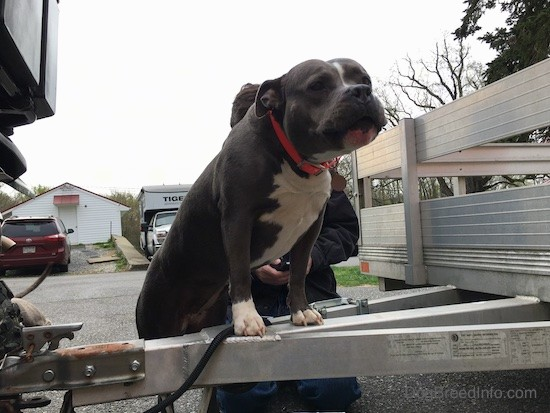 A wide, thick, well muscled bully looking dog in mid howl with her ears pinned back with her front paws up on an aluminum trailer that is attached to a Honda side by side. There is a man in a black shirt working behind her.