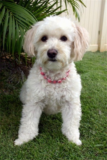 A medium sized small thick, curly coated tan dog with ears that hang down to the sides with long straight hair on them, a brown-black nose, dark round eyes wearing a pink collar sitting down in grass in front of a green plant and a tan privacy fence.