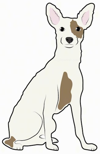 A drawing of the front view of a sitting medium sized, short coated, white and tan dog with large perk ears, a black nose and dark eyes.