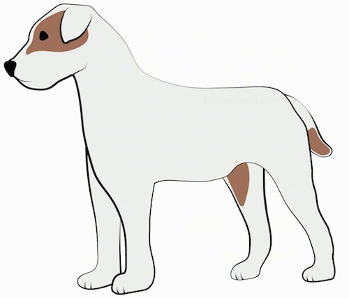 A drawing of the side view of a standing medium sized, short coated, white and tan dog with small fold over ears, a black nose and dark eyes.