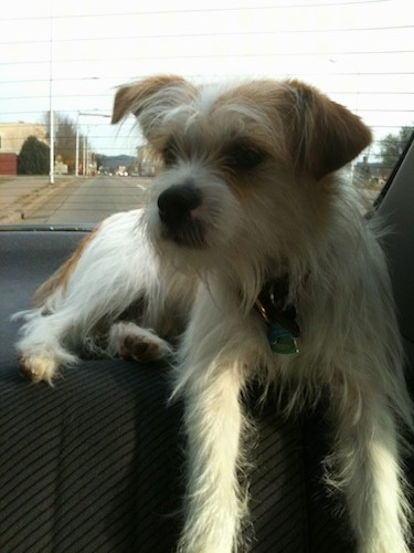 A scruffy long coated dog with a square muzzle, a black nose, small ears that fold over at the tips, dark eyes and dark lips wearing a collar with dog tags hanging from it laying at the top of a back seat of a car.