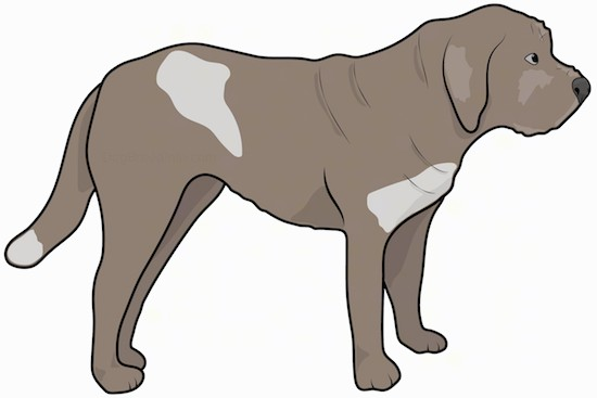 Side view drawing of a large, thick, muscular brown dog with extra skin, a long tail and ears that hang down to the sides, a wide thick muzzle, dark nose and dark eyes.