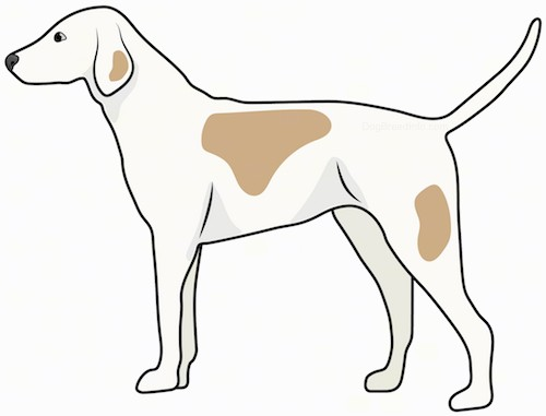Side view drawing of a tall white with tan hound dog with ears that hang down to the sides, a long muzzle and a long tail standing.