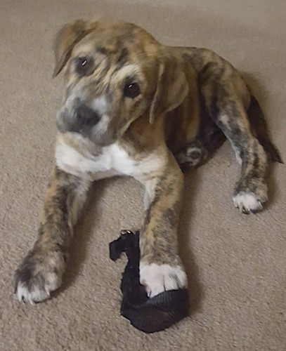 A little thick bodied brindle puppy with ears that hang down to the sides, a black nose, round dark eyes, white on her chest and large front paws laying down on a tan carpet