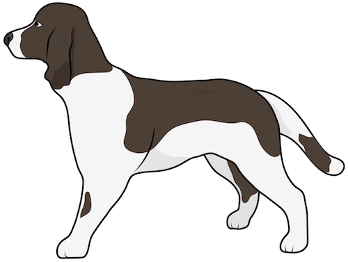 Side view drawing of a brown and white spaniel dog with a long tail and long ears that hang down to the sides standing.