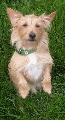 A scruffy looking tan dog with a white chest, large perk ears, dark almond-shaped eyes and a black nose standing on her hind legs in tall grass.