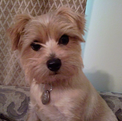 A tan small dog with thick hair on his muzzle, eye brows and ears with wide round dark eyes and a black nose sitting down on a tan couch.