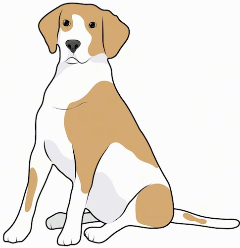 Front side view drawing of a tan and white bicolor hound dog with a long tail, black nose and long ears that hang down to the sides sitting down