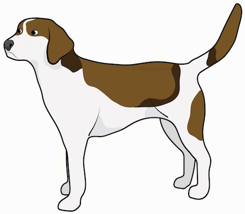 Side view drawing of a brown, tan and white hound dog with a long tail and ears, a blocky muzzle with a large black nose standing