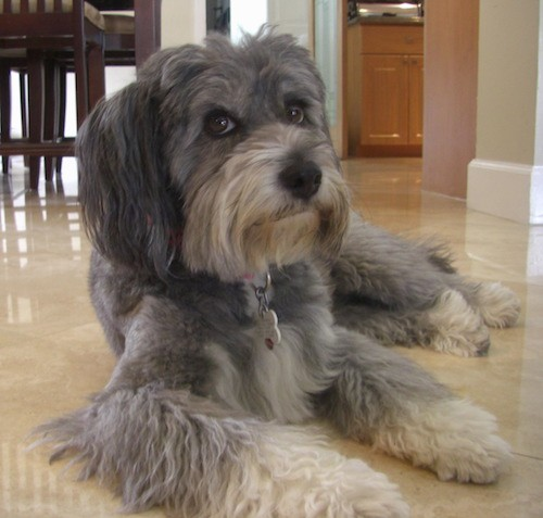 A gray, thick coated dog with longer hair on her ears, legs, muzzle, face and snout laying down on a tan tiled floor with a kitchen table behind her.