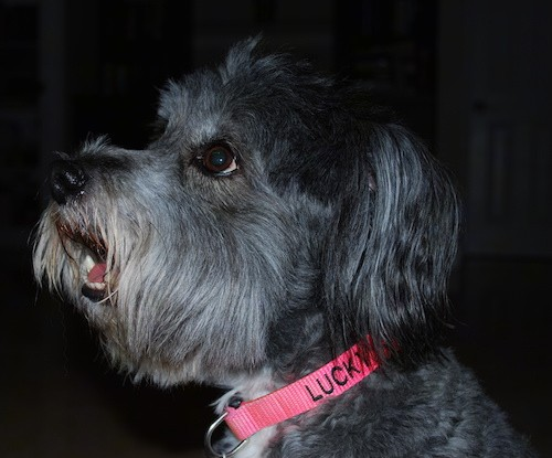 Side view of a gray dog with long hair on her face and ear wearing a hot pink collar that says Lucky.