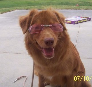 Front view of a rust orange colored dog with a brown nose sitting on concrete wearing pink sunglasses.