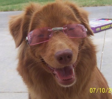 Close up head shot of a rust orange colored dog with a brown nose sitting on concrete wearing pink sunglasses.