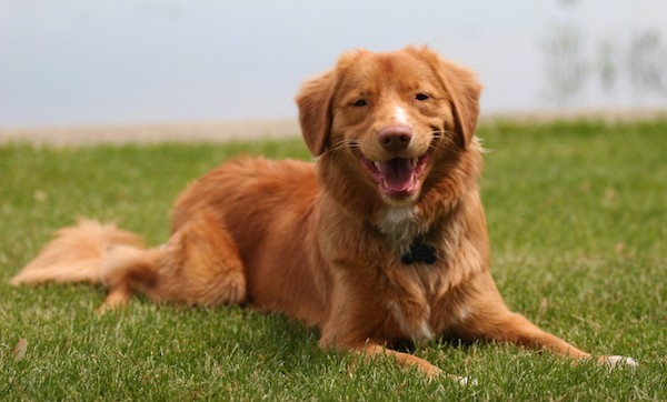 Front side view of a smiling, orange, thick-coated dog laying down in green grass. The dog has a brown nose and soft looking ears that hang down to the sides with long thick hair on its long tail. He has a small white patch on its muzzle, chest and tips of its paws.