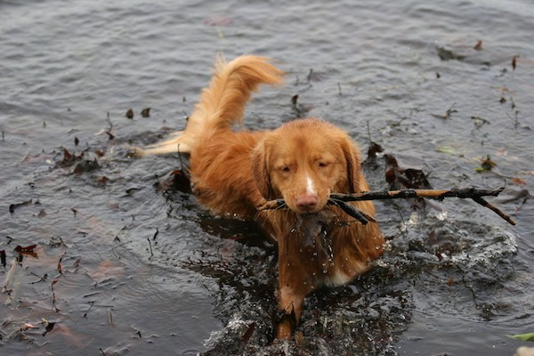 An orange dog swimming in water with a long stick in his mouth. His nose is orange-brown to match his coat and his tail is long and being held out of the water.