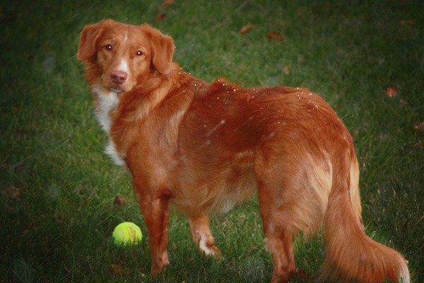 Back side view of a thick coated orange dog with small ears that fold down to the sides with a white chest and white on its muzzle and a long tail that is being held low with fringe hair on it standing in grass in front of a tennis ball looking back at the camera.
