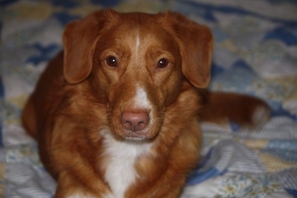 Close up front view of an orange dog with white on her chest, muzzle and tips of her paws. The dog has a liver brown nose, brown almond shaped eyes and a thick wavy coat with soft looking ears that fold down to the sides laying down on a person's bed.