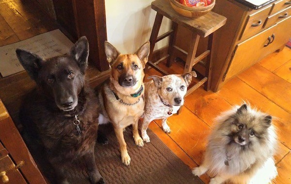 Four dogs sitting down on top of a hardwood floor looking up at the camera surrounded by wooden furniture