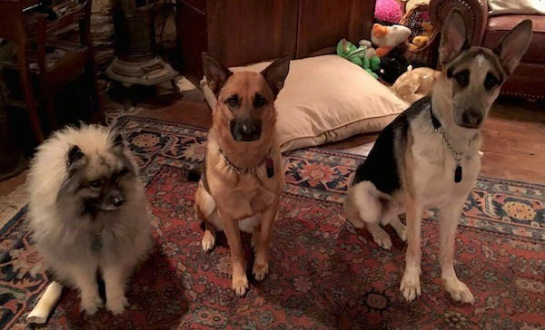 Three dogs, a keeshond and two shepherds, sitting on a red oriental carpet inside of a living room, a fluffy gray dog, a perk eared black and tan dog and a tricolor large breed dog with big perk ears.