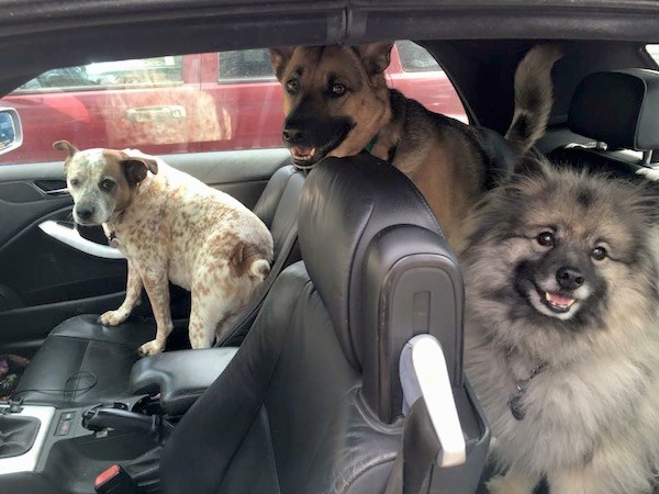 Three dogs inside of a car that has black leather seats, a red and white ticked dog, a shepherd dog with a long snout and a fluffy gray dog.