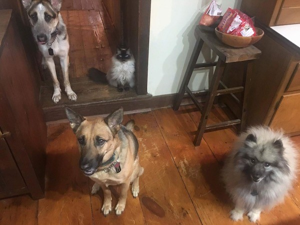 Three dogs and a cat, in the back a large breed tricolor shepherd is standing next to a sitting fluffy gray and black cat that has blue eyes and in front of them is a sitting black and tan German Shepherd sitting next to a fluffy gray and black Keeshond dog on a hardwood floor inside of a house.