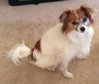 Papillon Dog Breed Information And Pictures