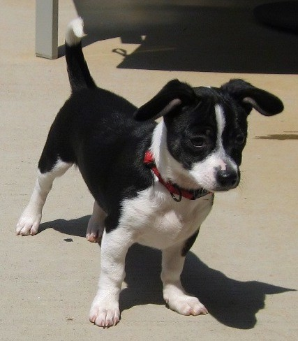 A black and white dog with short legs, a long body and a tail that is up in the air curling over at the tip with ears that go up and down to the sides of the dogs head standing outside on concrete. The dog has a black nose and it is wearing a red collar.