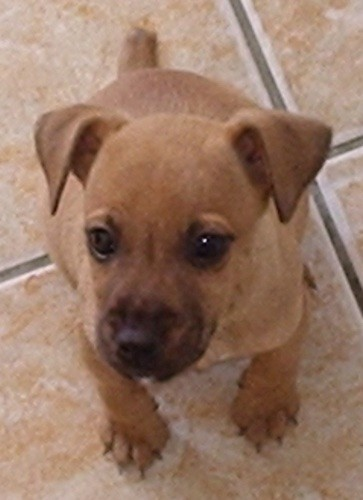 A small tan puppy with little v-shaped fold over ears, wide brown eyes and a black nose with black on her snout and a small stub of a tail sitting down on a tan tiled floor.