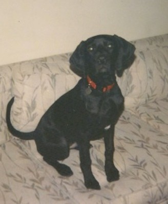 A large breed black dog with a long tail and large wide, soft ears that hang down to the sides wearing a red collar sitting down on a tan cloth couch.