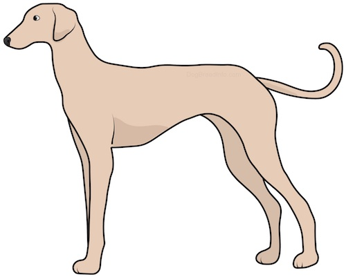Side view drawing of a tall, thin tan dog with a very long tail, a long muzzle and v-shaped ears that hang down to the sides standing.