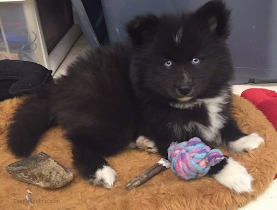 Front side view of a thick coated, soft looking, fluffy black dog with a white chest and blue eyes laying down on a brown dog bed surrounded by dog toys and chews. The pup has small perk ears that stand up in the air and a black nose and a white chin with white on the tips of his paws. It has a hoof, a bully stick and a purple rope knot toy.
