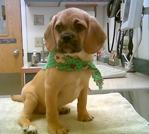 A little tan hound looking dog with very short hair and long soft ears that hang down to the sides, droopy skin on his face with wrinkles, a black muzzle, round dark eyes and a black nose wearing a green bandanna sitting down on a table at the vets office. His back paws have white tips on them.