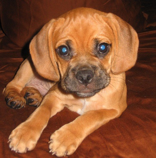 A little orange-brown dog with a black muzzle, wide soft drop ears, wide round dark eyes, a wrinkly head and a black nose laying down.